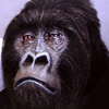 Animatronic Gorilla mask at make-up designory